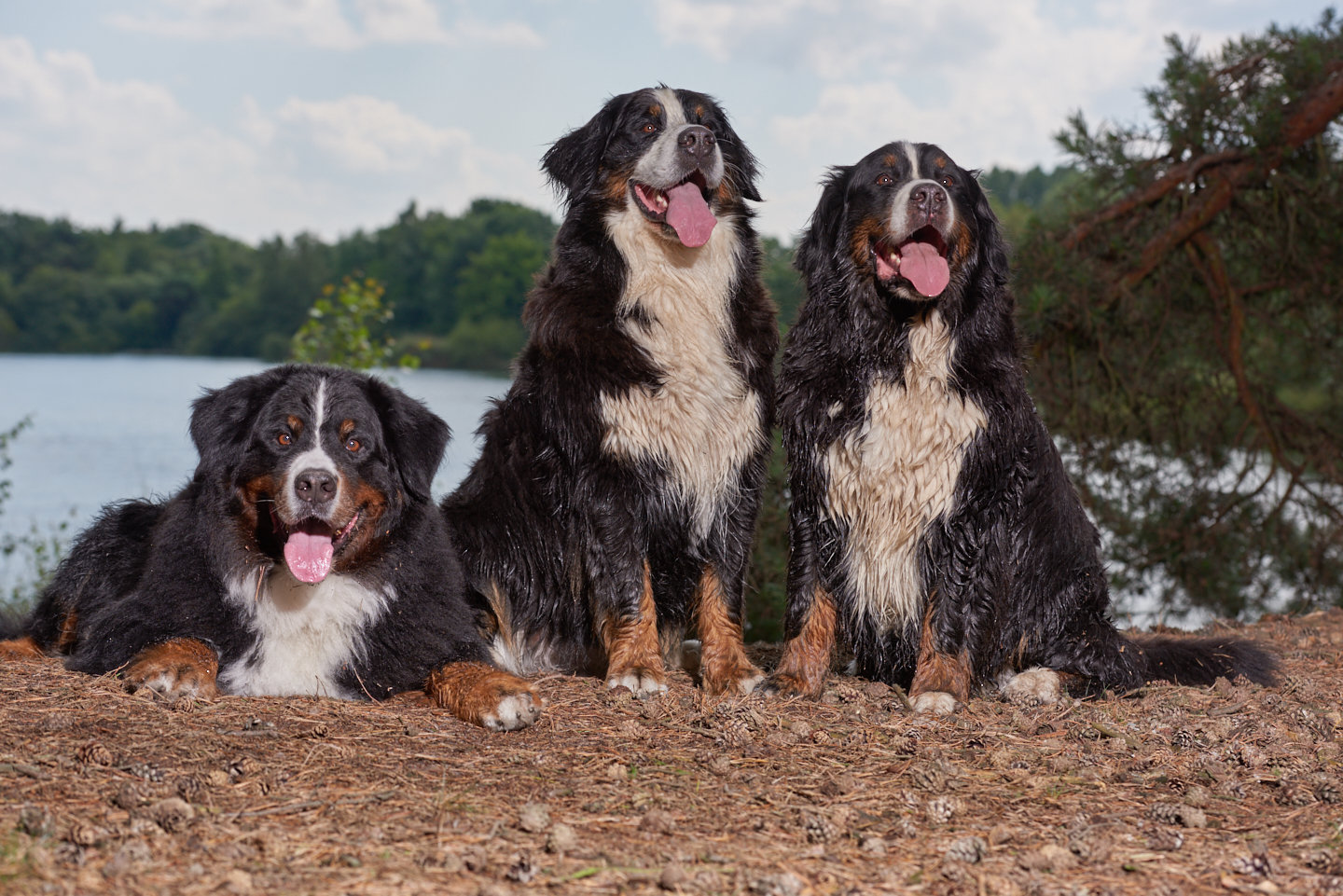 Easy Living Bernese Mountaindogs